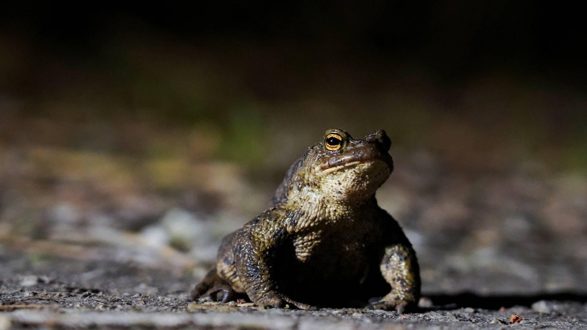 Тепло асфальтового покриву може робити жаб сонливими