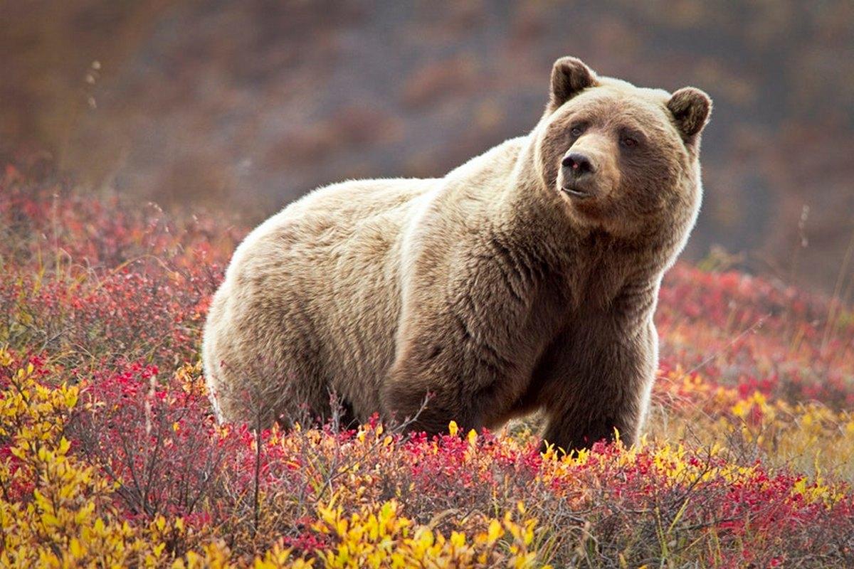 Відвідувачі національного парку і заповідника Деналі можуть побачити ведмедів грізлі © Jacob W. Frank / Getty Images